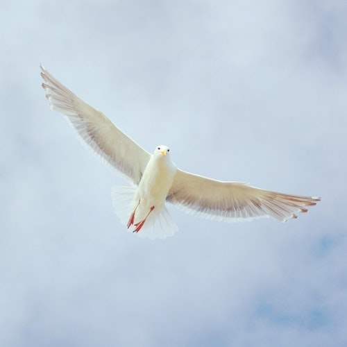 A dove flying
